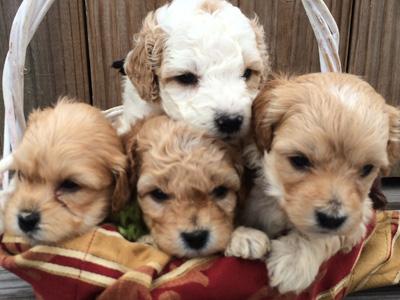 goldendoodle_puppies