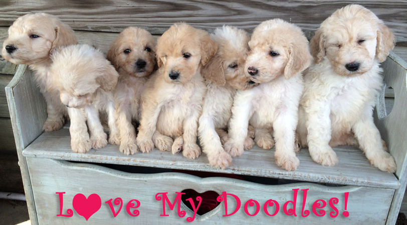 Goldendoodle Puppies in Florida by Love My Doodles