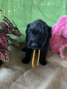 <h6>Girl Gold<br> ♥ 5 Weeks<br> Available!