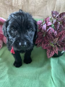 <h6>Girl Red <br> ♥ 6 Weeks<br> Available!